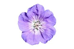 Geranium cinereum `Ballerina` Royalty Free Stock Images