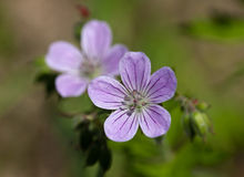 Geranium close up Stock Images