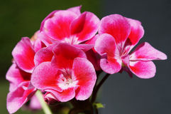 Geranium Close Up Stock Photography