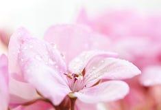 Geranium. Close up on pink flowers (geranium) with shallow dof stock photography