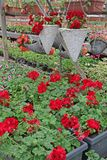 Geranium. Colored pelargonium field with hanging pots. Field of red ivy geranium and for sale. Hanging pots with flowers for decor stock photos