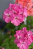 Geranium, cranesbill Stock Image