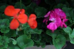 geranium De kleurrijke ooievaarsbek met groen doorbladert in potten voor verkoop Bloemen patroon De achtergrond van de bloem Stock Fotografie