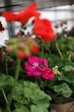 geranium De kleurrijke ooievaarsbek met groen doorbladert in potten voor verkoop Bloemen patroon De achtergrond van de bloem Stock Foto's