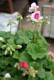geranium De kleurrijke ooievaarsbek met groen doorbladert in potten voor verkoop Bloemen patroon De achtergrond van de bloem Royalty-vrije Stock Foto