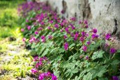 Geranium in een de lentetuin stock afbeeldingen