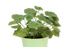 Geranium in een pot Royalty-vrije Stock Foto