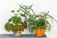 Geranium en aloë Royalty-vrije Stock Foto