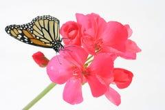 Geranium en vlinder Stock Foto