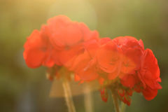 Geranium. In the evening sunlight royalty free stock photography