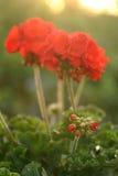 Geranium. In the evening sunlight royalty free stock photos