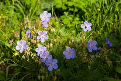Geranium meadow on a summer evening royalty free stock photos