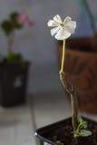 geranium Flor branca do gerânio - planta home popular imagens de stock