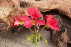 Geranium flower Royalty Free Stock Photography