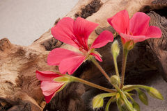 Geranium flower Royalty Free Stock Photo