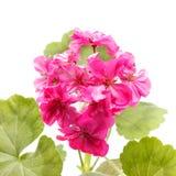 Geranium Flower. Pink geranium flower isolated on white background stock image