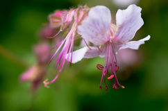 Geranium flower Royalty Free Stock Images