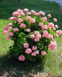 Geranium flower. (cranesbills plantae magnoliophyta eudicots geraniales geraniaceae Royalty Free Stock Images