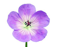 Geranium flower. Isolated Geranium flower on a white background stock image
