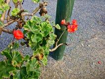 Geranium flower on asphalt background. Small red flowers royalty free stock photos