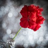 Geranium flower in a vase. Geranium flower on a background with beautiful bokeh stock images