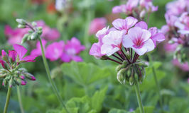 Geranium Flower blooming colorful pink, white, purple royalty free stock photography