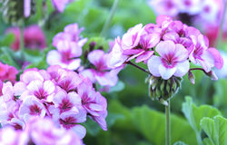 Geranium Flower blooming colorful pink, white, purple stock image