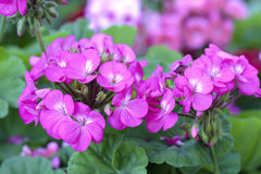 Geranium Flower blooming colorful pink, white, purple. In the garden in spring weather greeted the beautiful new day royalty free stock photography