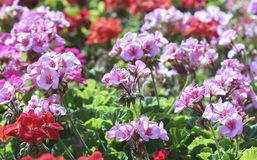 Geranium Flower blooming colorful pink, white, purple stock photo