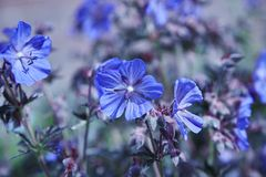 Geranium flower. A blue Geranium with a dark foliage royalty free stock images