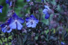 Geranium flower. A blue Geranium with a dark foliage stock photo
