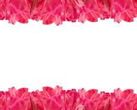 Geranium Flower Border. Pink geranium border elemant. Isolated with clipping path Royalty Free Stock Images