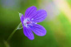Geranium flower bud with stamens close up royalty free stock photo