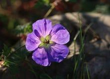 Geranium flower Stock Photo