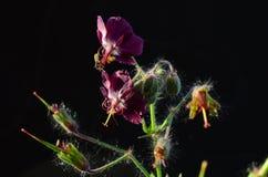 Geranium flower. Curative Geranium flower in sunlight on black background Stock Image