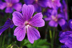 Geranium Royalty Free Stock Images