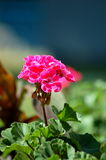 Geranium Flower. In first plan, having a blue wall creating a constrast in the background. Photo taken in Toronto, Canada royalty free stock photo