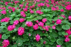 Geranium flower in the garden. Background stock image