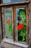 Geranium. Flower geraniums outside the window Stock Image