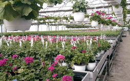 Geranium flower in the greenhouse 4. Purplle geranium flower in the greenhouse Royalty Free Stock Image