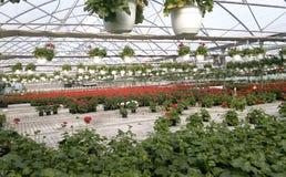 Geranium flower in the greenhouse 5. Red geranium flower in the greenhouse Stock Photo