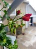 Geranium flower house. Garden red park green bio flowers stock photo