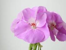 Geranium flower , houseplant. Cultivation flora floristics botany nature Stock Images