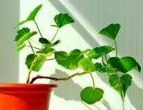 Geranium flower , houseplant. Spring cultivation flora floristics botany nature Stock Photos
