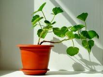 Geranium flower , houseplant. Spring cultivation flora floristics botany nature Royalty Free Stock Photography