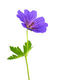 Geranium Flower Isolated on White Stock Photo