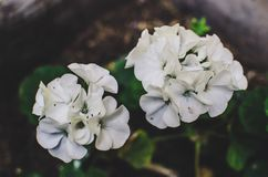 Geranium flower. Leafy white geranium flower royalty free stock photography