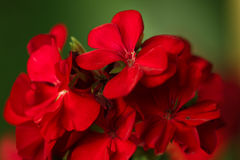 Geranium flower. Macro photo with geranium flower royalty free stock photography