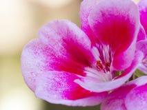 Geranium flower Stock Image
