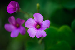 Geranium flower macro. With shallow depth of field royalty free stock image